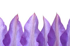 Free Clematis Flower Petals Stock Images - 31110294