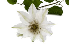 Clematis flower,  on white background Royalty Free Stock Photography
