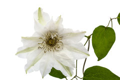 Clematis flower,  on white background Royalty Free Stock Photo