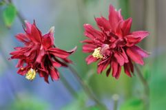 Clematis-flowered Columbine, Aquilegia vulgaris Royalty Free Stock Photos