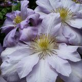 Clematis. Flowering clematis vine purple royalty free stock images