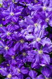Clematis flowers as background Royalty Free Stock Photo
