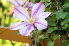 Clematis flowers. Bloom in a spring garden Stock Photos