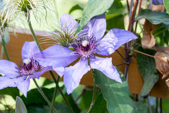 Clematis flowers. Bloom in a spring garden Royalty Free Stock Image