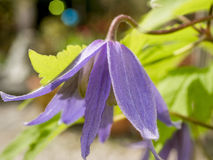 Clematis. Flowers of Clematis, clematis, the Buttercup family Ranunculaceae Stock Photos