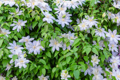 Clematis Royalty Free Stock Images