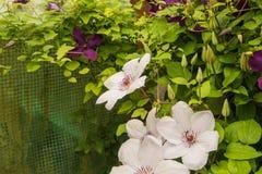 Clematis flowers Stock Photos