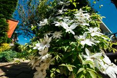 Clematis flowers completely covering a fence in home garden Royalty Free Stock Photography