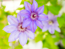 Clematis flowers in the garden Royalty Free Stock Photos