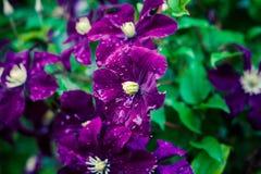 Clematis flowers in the garden Stock Image