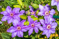 Clematis flowers. Gorgeous clematis flowers close up Stock Images