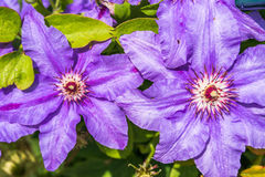 Clematis flowers. Gorgeous clematis purple flowers close up Stock Photography