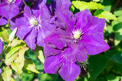 Clematis-flowers for landscape design Royalty Free Stock Images
