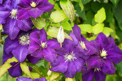 Clematis-flowers for landscape design Royalty Free Stock Photos