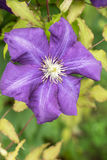 Clematis-flowers for landscape design Stock Image