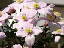 Clematis flowers Stock Photography