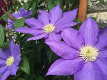 Clematis Flowers. Purple Clematis flowers on vine Stock Images