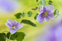 Clematis flowers in summer Royalty Free Stock Photography