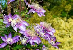 Clematis Flowers Royalty Free Stock Images