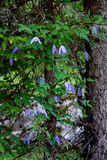 Clematis flowers. Flowers of wild clematis in the wood, in the Alps in Europe Stock Photos