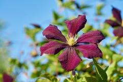Clematis in garden Stock Images