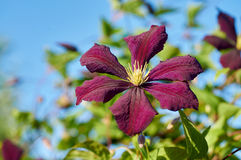 Clematis in garden Royalty Free Stock Photo