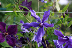Clematis in the garden. In summer time Royalty Free Stock Photo