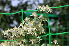 Clematis in the garden. In summer time Stock Image