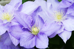 Clematis Group. Group of clematis flowers in full bloom stock image