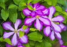 clematis Härliga purpurfärgade blommor av klematiers över grön backgr Royaltyfri Fotografi
