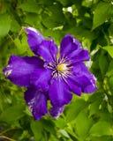 clematis Härliga purpurfärgade blommor av klematiers över grön backgr Royaltyfria Foton