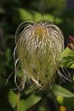 Clematis Hybrid, climbing plant Royalty Free Stock Photos