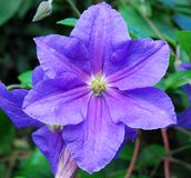 Clematis Hybrida Stock Photos