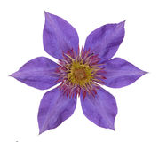 Clematis i Royalty Free Stock Photos
