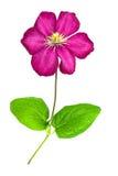 clematis isolerad rosa white Royaltyfria Bilder