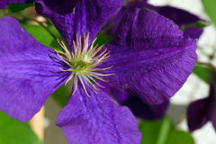 Clematis Jackmanii Royalty Free Stock Images