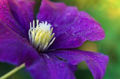 Clematis Jackmanii with dew drops royalty free stock photo