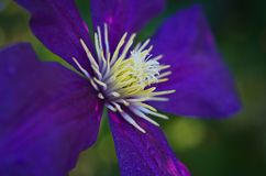Clematis Jackmanii with dew drops stock photo
