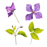 Clematis Jackmanii flowers, buds and leaves. Clematis Jackmanii flowers,buds and leaves isolated on white Royalty Free Stock Photography