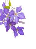 Clematis Jackmanii kwitnie, pączki i liście Zdjęcia Stock
