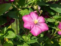 Clematis Jackmanii, one flower. Stock Photo