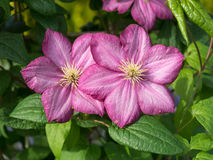 Clematis Jackmanii, two flowers. Warm rose and vine shades. Sunny summer day Royalty Free Stock Images