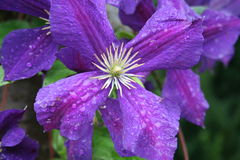Clematis Jackmanni. Clematis flowers in blossom with raindrops on its petals Stock Photo