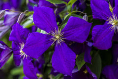 Clematis Jackmannii Single Blossom Royalty Free Stock Photos