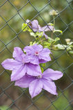 Clematis Kacper Stock Photo