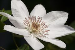 clematis kwiat Obrazy Royalty Free