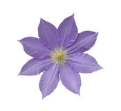clematis kwiat Obraz Royalty Free