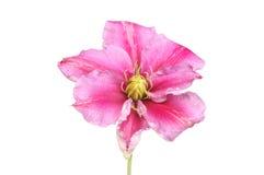 Clematis kwiat Fotografia Stock