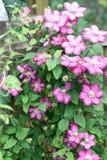 Clematis kwiat (Clematis) Fotografia Royalty Free