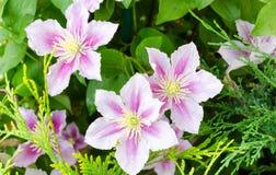 Clematis kwiat na ogrodzeniu close-up strzelał z pięknym bokeh zdjęcie stock